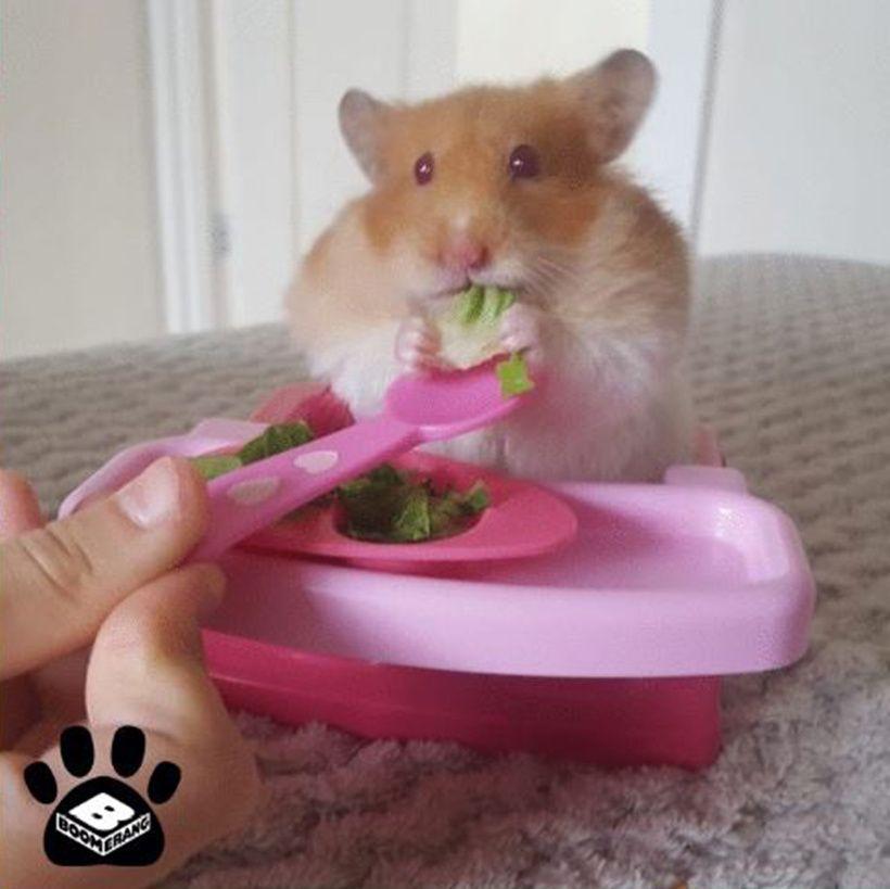 Ava the hamster
