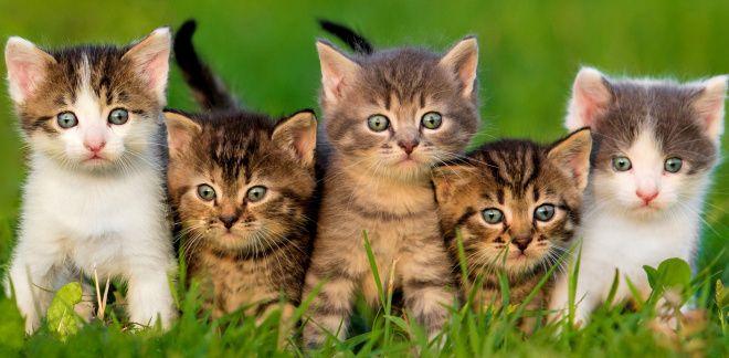Jaką rasą kota jesteś?