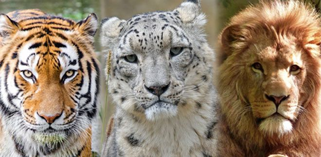 Który z wielkich kotów to Ty?