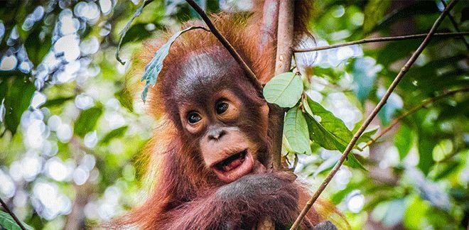 Wie gut kennst du dich mit Orang-Utans aus?